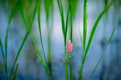 Ferme verte de riz avec l'escargot d'oeufs Photo stock