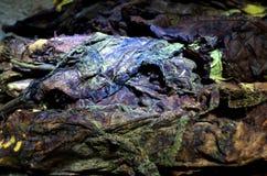 Fermentacja Srintil tabaczny Temanggung Indonezja zdjęcie stock