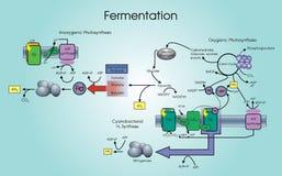 fermentation Images stock