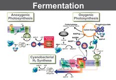 Fermentation. Is a metabolic process that converts sugar to acids, gases or alcohol. It occurs in yeast and bacteria, and also in oxygen-starved muscle cells Stock Images