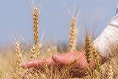 fermer移交麦子 库存图片