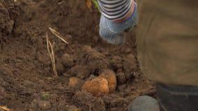 Fermer que escava a terra com forquilhas para encontrar batatas slowmotion Colagem de legumes frescos filme