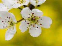 Fermer-uo de fleur de poire Photos stock