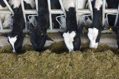Fermes de cheptels laitiers image stock