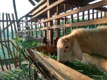 Fermes de moutons Image libre de droits