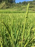 Fermes de riz Images stock