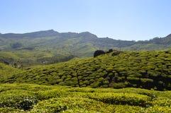 Fermes de thé Photographie stock