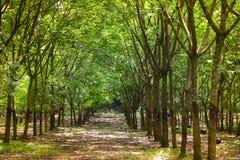 Fermes en caoutchouc d'arbres en caoutchouc images libres de droits