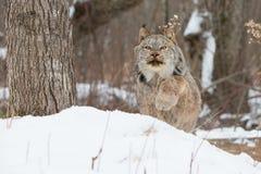 Fermeture de Lynx dedans sur la proie image stock