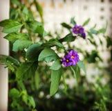Fermez de l'les fleurs pourpres du rantonnetti de solanum photo libre de droits