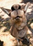 fermez extrêmement les kangourous de visage vers le haut photographie stock
