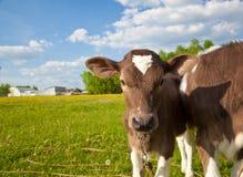 Fermez vers le haut de l'les jeunes calfs Photo libre de droits