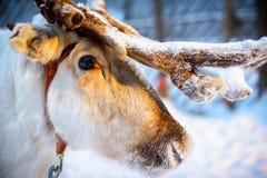 Fermez vers le haut du tir un renne pendant le coucher du soleil Photo stock