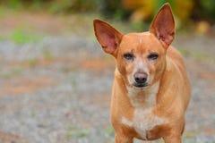 Fermez vers le haut du visage le chien russe de Toy Terrier Images libres de droits
