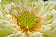 Fermez-vous à l'intérieur du lotus Photographie stock