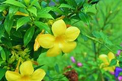 Fermez-vous aux fleurs jaunes de ma tante photo stock