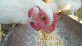 Fermez-vous avec les grains de versement dans une cuvette et des poulets mangeant à la ferme - banque de vidéos