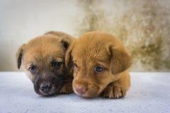 Fermez-vous d'aimer jumel de chiots Photographie stock