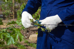 Fermez-vous d'attacher des branches de raisin photo stock