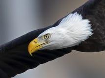 Fermez-vous d'Eagle chauve intense en vol photo stock