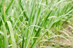 Fermez-vous d'un élevage de plante verte Images stock