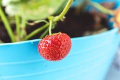 Fermez-vous d'un élevage mûr de fraise Photos stock