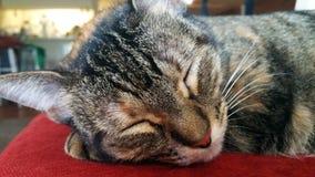 Fermez-vous d'un aquarium populaire tigré gris de sommeil Photos stock