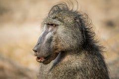Fermez-vous d'un babouin de Chacma dans le Kruger photographie stock libre de droits