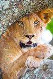 Fermez-vous d'un beau lion avec les yeux sauvages se reposant dans l'arbre Images stock