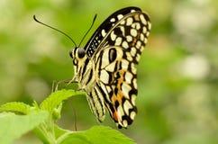 Fermez-vous d'un beau papillon jaune et noir Photographie stock libre de droits