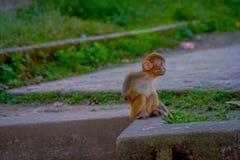 Fermez-vous d'un beau petit singe à l'extérieur chez Swayambhu Stupa, temple de singe, Katmandou, Népal Photo libre de droits