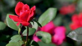 Fermez-vous d'un bourgeon rouge de rose avec les feuilles vertes banque de vidéos