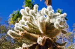 Fermez-vous d'un cactus de Cholla Photographie stock libre de droits