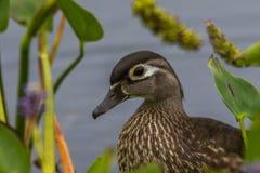 Fermez-vous d'un canard en bois femelle photo stock