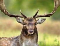 Fermez-vous d'un cerf commun affriché pendant l'ornière photographie stock libre de droits