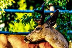 Fermez-vous d'un cerf commun coupé la queue par noir dans le village alpin des crêtes de Sun dans les montagnes de Shuswap image libre de droits