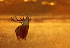 Fermez-vous d'un cerf commun rouge appelant à l'aube photographie stock