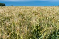 Fermez-vous d'un champ de maïs de Hugh avec les oreilles presque mûres photos libres de droits