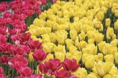 Fermez-vous d'un champ des tulipes roses et jaunes Photo stock