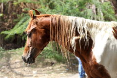 Fermez-vous d'un cheval brun et blanc Images libres de droits