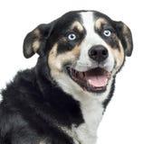 Fermez-vous d'un chien de montagne de Bernese haletant, d'isolement Photo stock