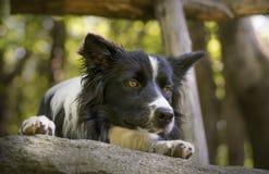Fermez-vous d'un chiot de border collie sous une barrière en bois Photos stock