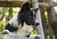 Fermez-vous d'un chiot de border collie sous une barrière en bois Photos libres de droits