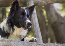 Fermez-vous d'un chiot de border collie sous une barrière en bois Photo stock