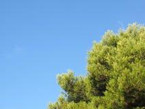 Fermez-vous d'un dessus tropical vibrant vert clair de pin contre un ciel ensoleillé d'été bleu lumineux photo stock