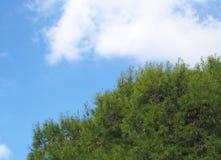 Fermez-vous d'un dessus tropical vibrant vert clair de pin contre un ciel ensoleillé d'été bleu lumineux avec le nuage blanc photographie stock