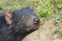 Fermez-vous d'un diable tasmanien reniflant l'air Photographie stock libre de droits