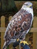 Fermez-vous d'un faucon Photo libre de droits