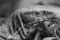Fermez-vous d'un foyer sélectif de reptile inoffensif d'iguane image libre de droits