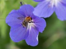Fermez-vous d'un géranium pourpre avec une abeille photographie stock